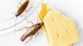 أضرار الصراصير على الإنسان