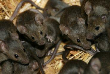 أفضل شركة مكافحة فئران بمكه ونصائح للتخلص منها
